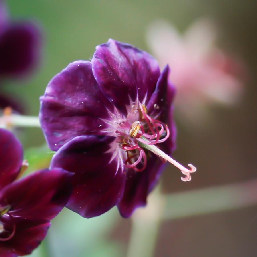 """Geranium phaeum """"samobor"""""""