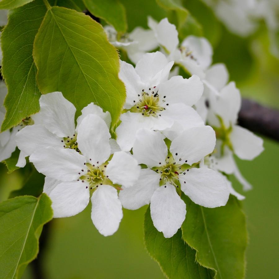 Blomstrende tre