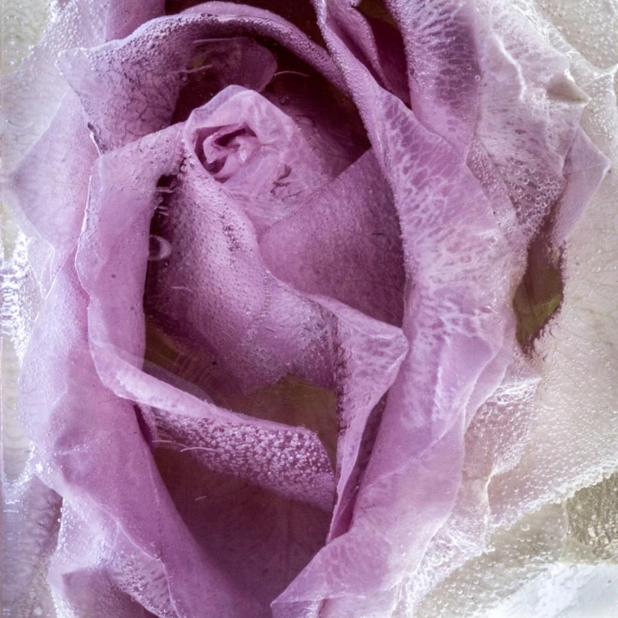 Rose i is